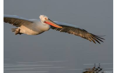 Research on Dalmatian pelicans movements