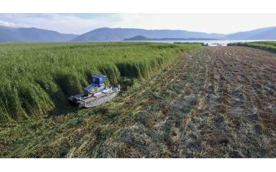The summer cuttings of reedbed were completed in Lesser Prespa